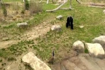 Gorille a peur d'une oie canadienne