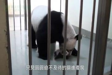 Mère panda voit son bébé pour la première fois