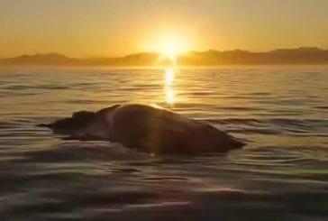 Scientifique navigue sur une carcasse de baleine pour de meilleures photos