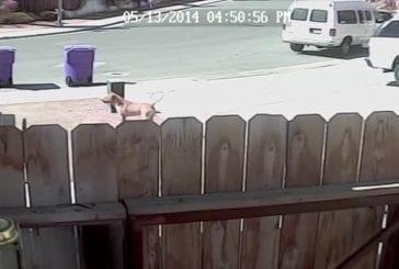 Chat héroïque sauve un bébé d'une attaque de chien