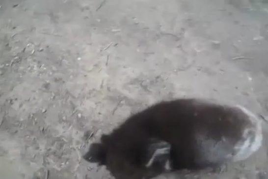 Koala grimpe pour un câlin