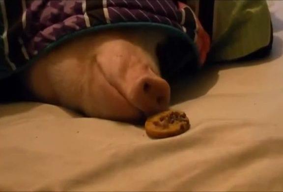 Placer furtivement un biscuit sous le nez d'un cochon endormi