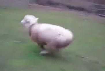 Mouton qui a grandi avec des chiens