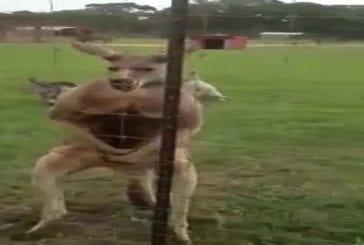 Kangourou qui prend des stéroïdes