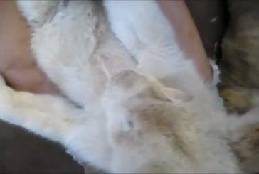Lionceau blanc mâche son pied