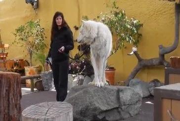 Hurlement d'un loup blanc de l'arctique