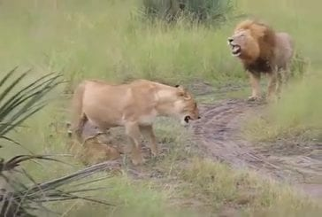 Lionceaux essaient d'imiter le rugissement de leur père