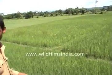 Tigre attaque un touriste sur un éléphant