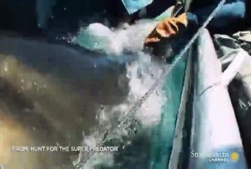 Ce grand requin blanc a mangé un très gros truc