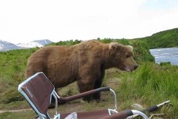 Ours brun d'Alaska