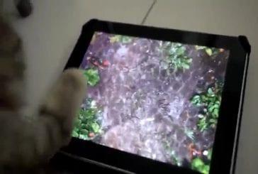 Chat joue sur ipad