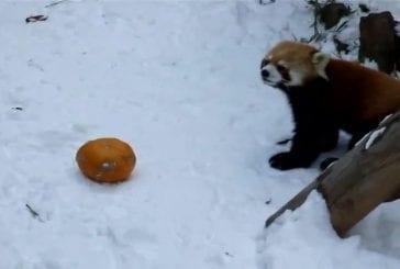 Panda rouge vs citrouille