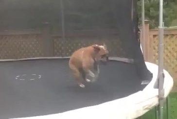 Heureux comme un chien sur un trampoline