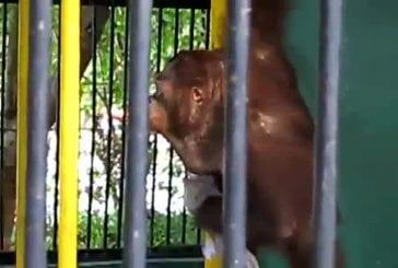 La chemise d'orang-outan voleur