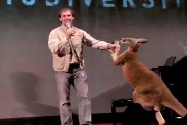 Un kangourou de boxe