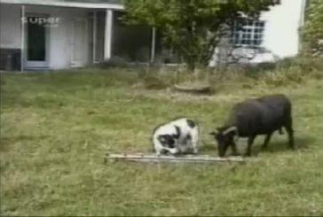 Chien contre chèvre