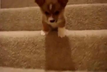 Bébé corgi n'ose pas descendre l'escalier