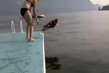 Corgi a peur de sauter dans l'eau