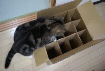 Chat frustré ne parvient pas à entrer dans la boite