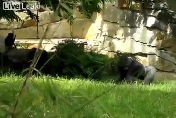 Gorille lance une motte de terre sur les employés du zoo de Berlin