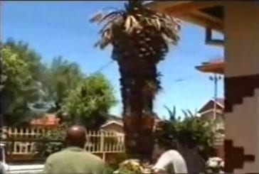 Bucheron tire un palmier avec sa voiture