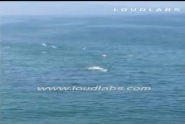Requin blanc attaque un nageur durant une compétition