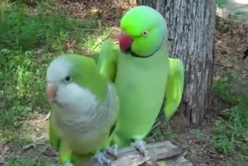 Artiste de ramassage perroquet veut baisers