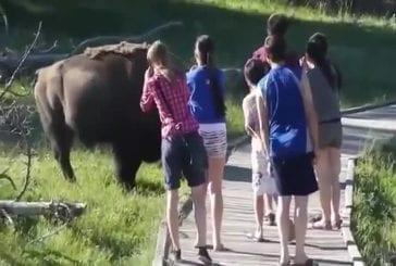 Bison colère charge petit enfant