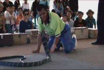 Fou mord cobra