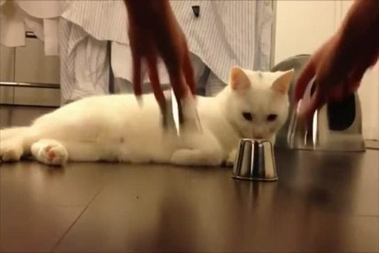Chat intelligent gagne jeu de coquille