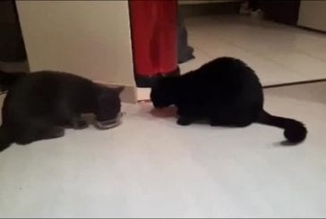 Chats sournois plaident pour bol de nourriture
