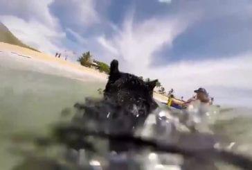 Vidéo GoPro d'un cochon qui fait du surf
