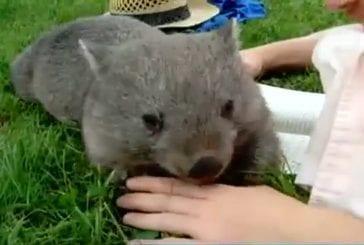 Koala aime se frotter le ventre