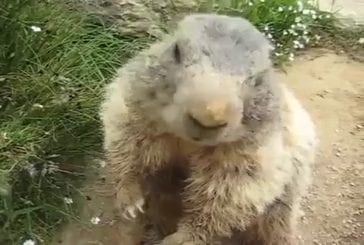Marmotte mangeant une carotte