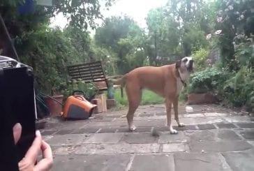 Jessie le chien chante le long de l'accordéon