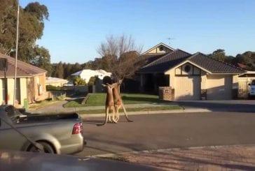 Sauvage combat de rue de kangourou