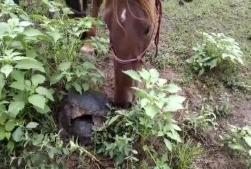 Cheval curieux trouve une tortue serpentine