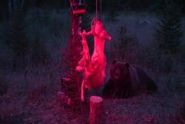 Défaites d'ours intelligents électrifiés cerf