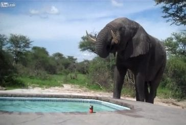 Eléphant bloque pool party
