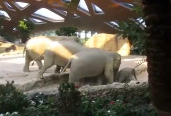 Eléphants viennent à la rescousse de bébé éléphant qui est tombé sur