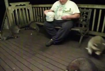 Un groupe de ratons laveurs manger du beurre d'arachide