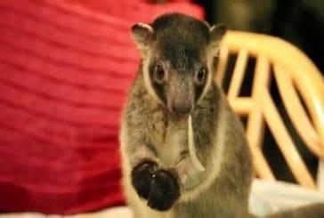 Ce petit kangourou va faire fondre votre cœur