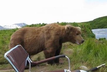 Incroyable rencontre avec un ours brun d'Alaska