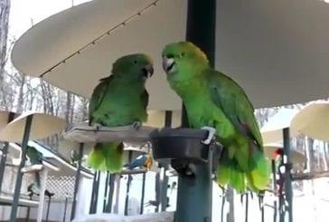 Perroquets Amazon faisant valoir comme un vieux couple marié