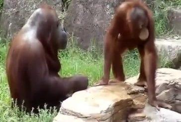 Orang-outan se refroidit comme un être humain