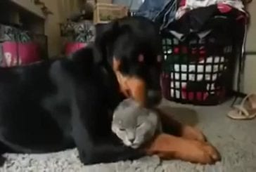 Rottweiler aime chat tellement