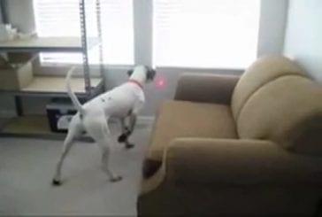 Laser monté sur le collier de chien