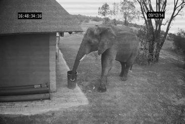 Eléphant pris sur CCTV le nettoyage de la poubelle