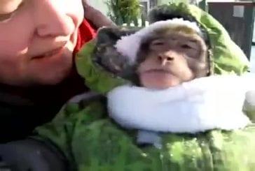 Petit singe en habit de neige