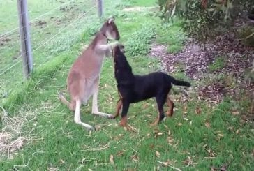 Un kangourou jouant avec un rottweiler